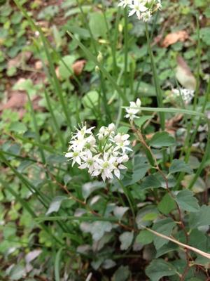 にらの花.JPGのサムネイル画像