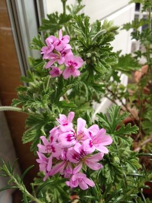 ゼラニウム花.JPG