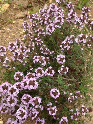 タイムの花.JPG
