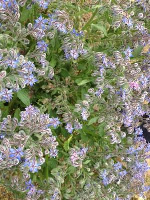 ボリジの花.JPG