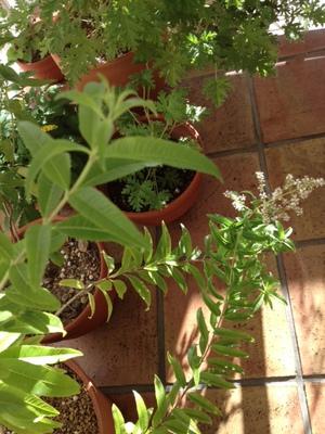 バーベナ花.JPG