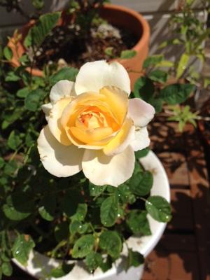 バラ スィートチェストナット.JPGのサムネイル画像