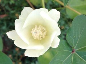 綿の花.jpg