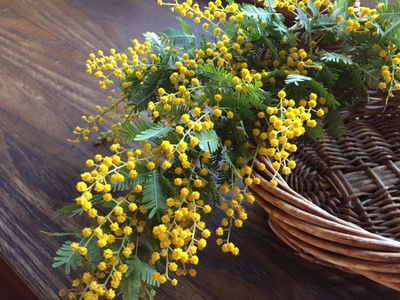 mimoza(dorai ).JPG