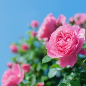 薔薇と青空.jpg