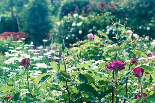 薔薇の庭.jpg